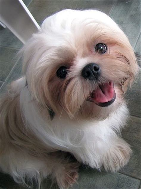 why has my maltese terrier got thin hair 50 cutest dogs with brilliant haircuts hairstylec