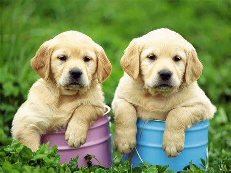 puppy wallpaper hd wallpapers cute puppy hd wallpapers