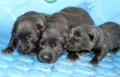 two week puppies silver labs 2 weeks silver labs for sale breeder
