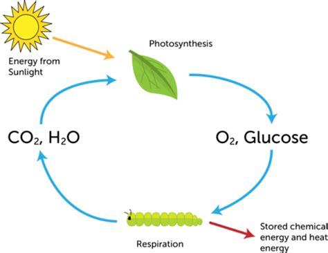photosynthesis and respiration diagram diagram illustrating photosynthesis