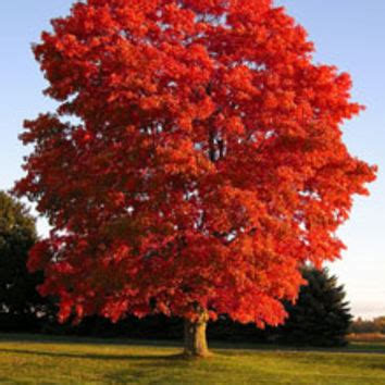 maple tree how fast does it grow american maple tree on fast growing from fast growing trees