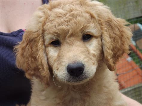 golden labradoodle puppy golden labradoodle puppy ready now derby derbyshire pets4homes