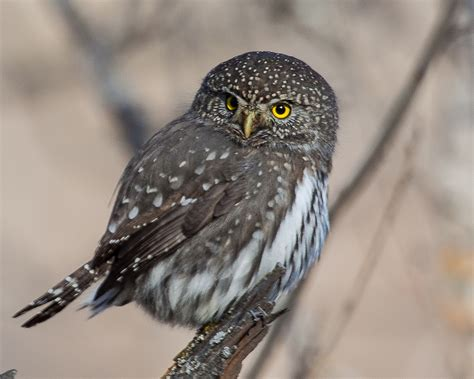 northern pygmy owl song call voice sound
