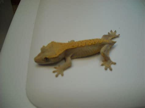 available crested geckos dannysgeckos