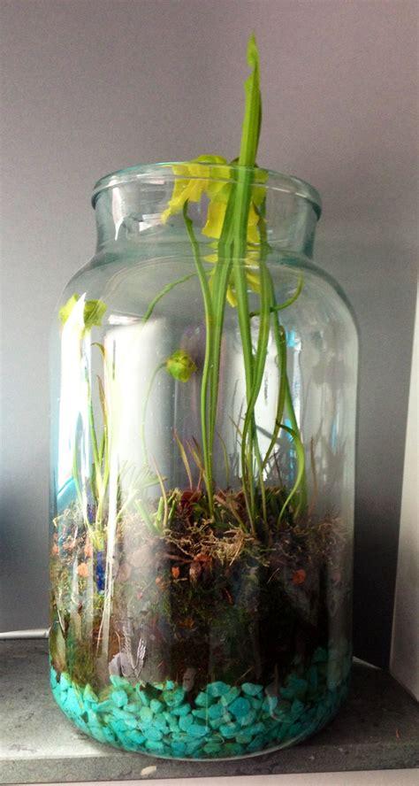 indoor bog garden  glass jar  pitcher plants
