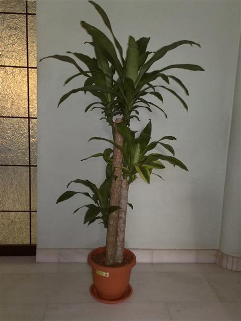 indoor plants singapore tropical indoor plants singapore how to transform your