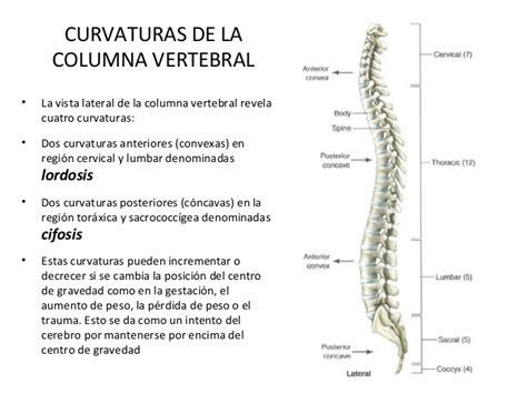 la columna de la la columna vertebral