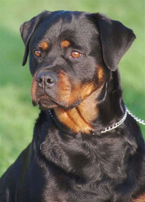 are german rottweilers family dogs best 10 rottweiler photos ideas on german rottweiler rottweilers and