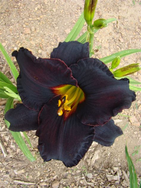 oak hill daylilies black fury