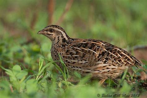 female quail bird