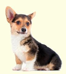 corgi puppies for sale nj 25 best ideas about corgi puppies for sale on corgi dogs for sale corgis