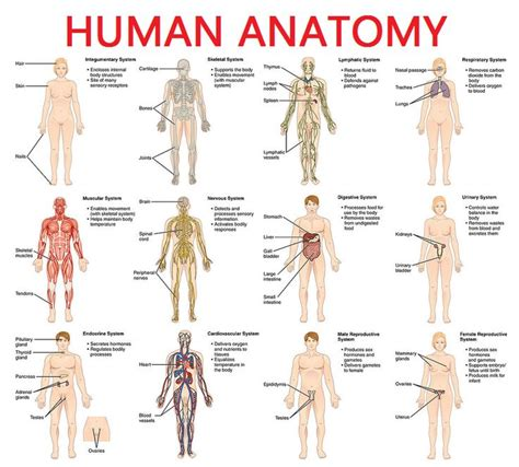 organ anatomy picture real human human diagram anatomy picture