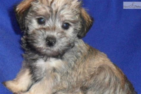 schnoodle puppies nc schnoodle puppies for sale newhairstylesformen2014