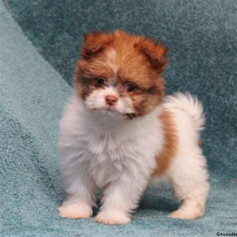 shih tzu pomeranian mix puppies for sale in michigan shih pom puppies for sale in de md ny nj philly dc and baltimore