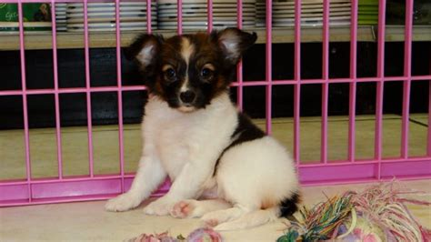 puppies for sale in macon ga eye catching papillon puppies for sale in ga at atlanta columbus johns creek macon