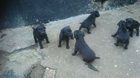 patterdale puppies patterdale puppies st ives cornwall pets4homes