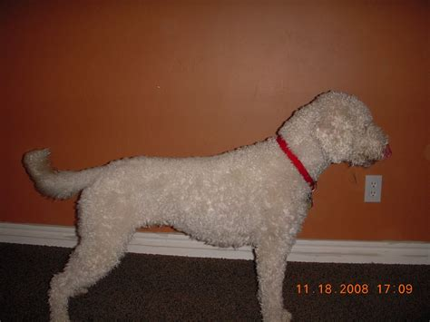 short haired labradoodle f1b ellsworth labradoodle puppies retired dogs
