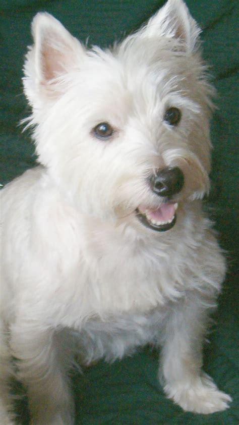 buffered aspirin for dogs buffered aspirin for dogs arthritis