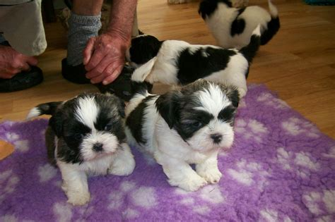 solid black shih tzu puppies for sale shih tzu puppy for adoption breeds picture