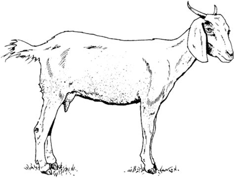 nubian goat coloring pages goat coloring page supercoloring com