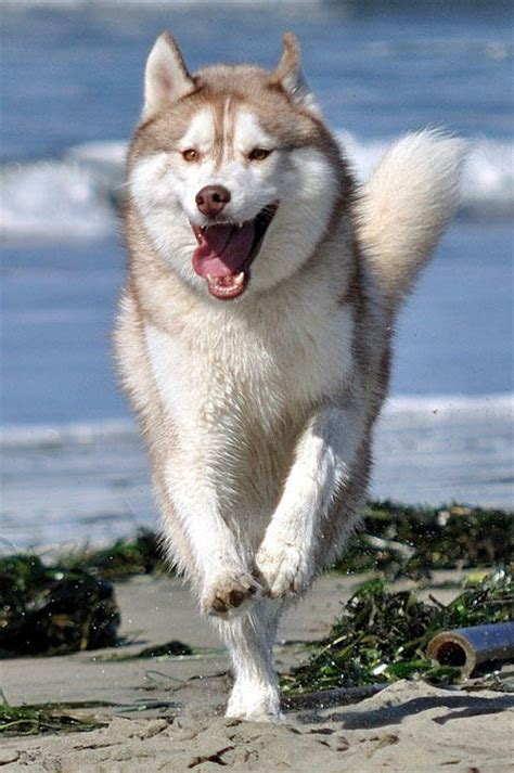 how fast do dogs run how fast can a siberian husky run many