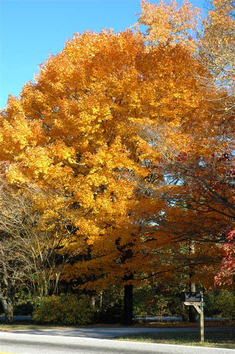 file golden sugar maple jpg wikimedia commons