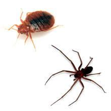 spider bites  bed bug bites whats  difference pest wiki