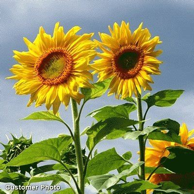 Jual Bibit Bunga Dan Sayur jual bibit bunga matahari sunflower mammoth grey stripe