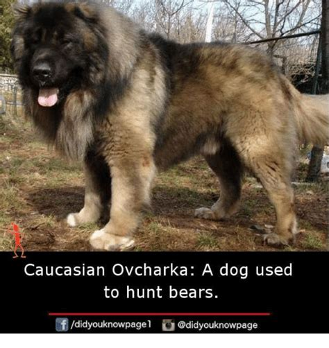 dogs used to hunt bears used to hunt bears breeds picture