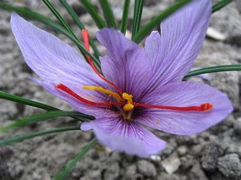 saffron crocus garden design