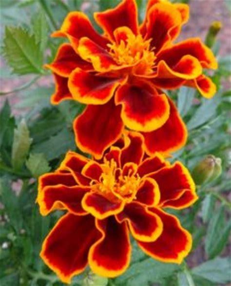 Tanaman Hias Bunga Marigold Berkualitas tanaman marigold cherry jual tanaman hias