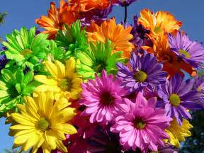 what color are daisies colorful daisies flickr photo