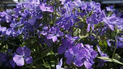 plantfiles pictures louisiana blue phlox woodland phlox