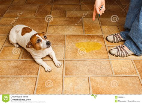 how to discipline a dog for peeing in the house dog pee lay scold stock image image 19634241