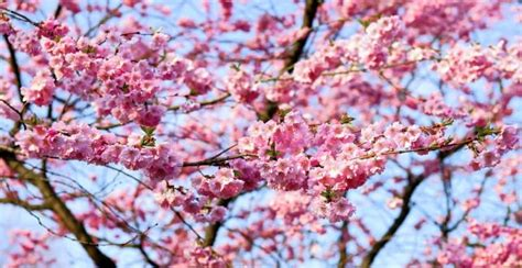 cherry blossom tree b q 20 best real s day gifts reviewed