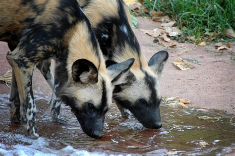 painted dogs file painted dogs perth zoo jpg