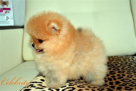boo puppies for sale teacup pomeranian puppy boo breeds picture