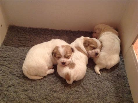 puppies for sale in delaware coton de tulear puppies for sale chester cheshire pets4homes
