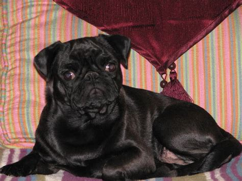 pugs for sale in dakota we are breeders of akc registered pugs we been raising pugs in breeds picture