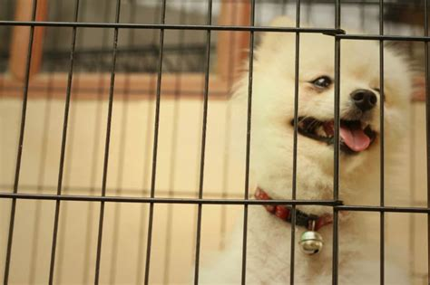 pomeranian crate how to crate a puppy american kennel club