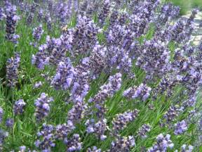growing lavender plants how to grow lavandula dark brown