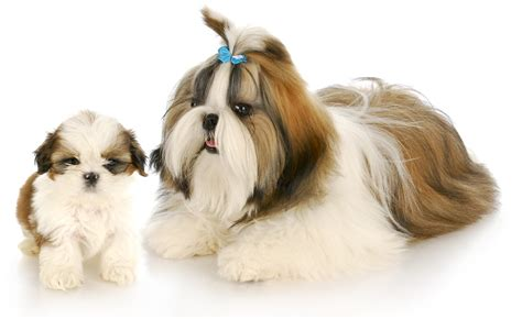 tucson puppies shih tzu puppies available in tucson az