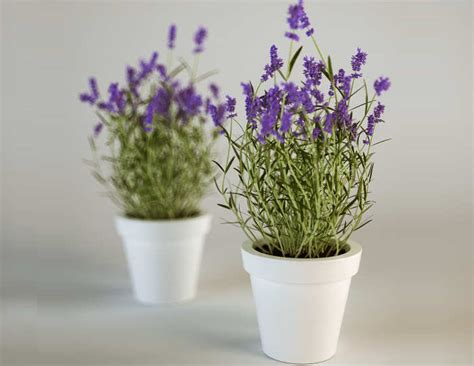 merawat bunga lavender rumah tanaman bunga hias