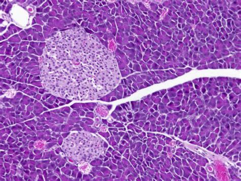 tissue section pancreas exocrine and endocrine tissue section with islets