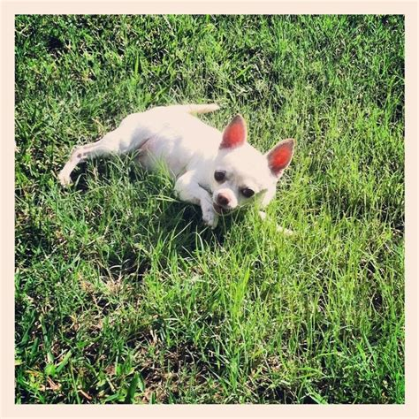 My Chihuahua Fidel Sun by 43 Best Chihuahuas Images On Adorable Animals