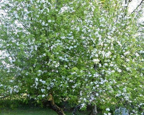 melo da fiore prezzo melo da fiore piante da giardino melo giardino