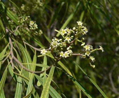 Low Maintenance australian willow
