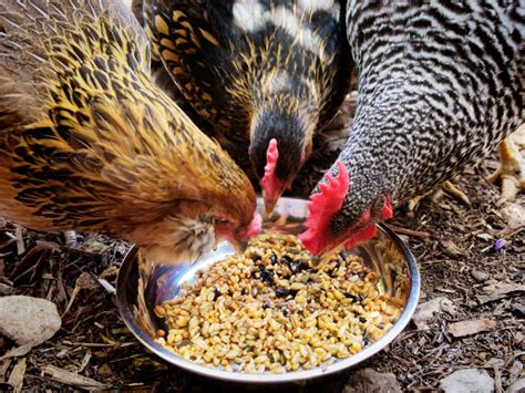 Backyard Chickens Diet Why And How To Ferment Your Chicken Feed Garden Betty