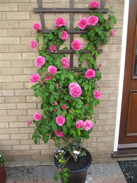 rose can 24 best vines for containers climbing plants for pots