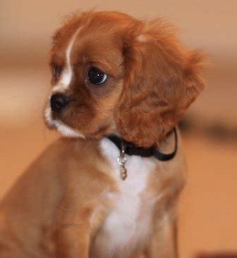pug cross cavalier king charles spaniel cavalier king charles spaniel breed information history health pictures and more
